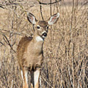 Young Black-tailed Deer Art Print