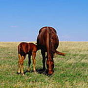 Young Colt And Mother Art Print