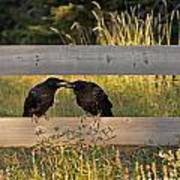 Young Common Ravens Art Print