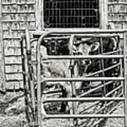 Young Cows In Pen Near Barn Maine Photograph Art Print