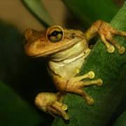 Young Cuban Tree Frog. Art Print