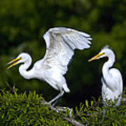 Young Egret Spreading His Wings Art Print