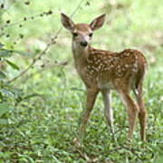 Young Fawn In The Woods Art Print