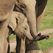 Young Indian Elephants At Play,corbett Art Print