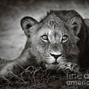 Young Lion Portrait Art Print