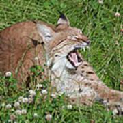Young Lynx Yawning Art Print