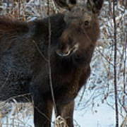 Young Moose 4 Art Print