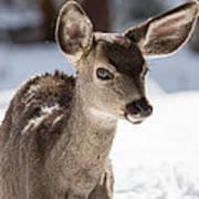 Young Mule Deer Fawn In Yosemite National Park Art Print