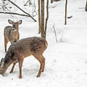 Young Spike Buck And Doe Whitetail Deer In Snowy Woods Art Print
