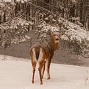 Young White Tailed Buck In Winter Art Print