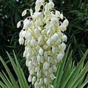 Yucca Blossoms Art Print