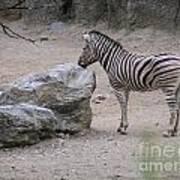 Zebra And Rock Art Print