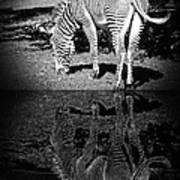 Zebra At The Waters Edge Art Print