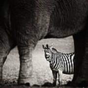 Zebra Barking Art Print