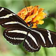 Zebra Butterfly Beauty 1 Art Print