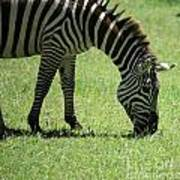 Zebra Eating Grass Art Print