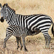 Zebra Family Art Print