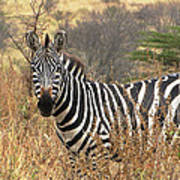 Zebra In Serengeti Art Print