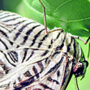 Zebra Long-wing Close-up Art Print