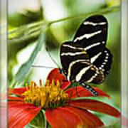 Zebra Longwing 2 Art Print
