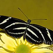 Zebra Longwing Art Print