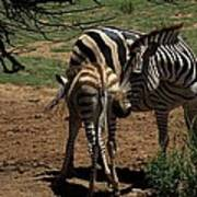 Zebra Mother And Foal Art Print by Graham Palmer