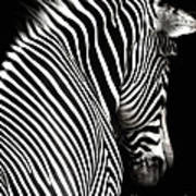 Zebra On Black Art Print