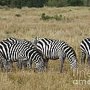 Zebra On Masai Mara Plains Art Print