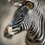 Zebra Profile Art Print