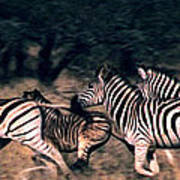 Zebra Stampede Art Print