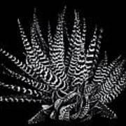 Zebra Succulent Art Print