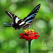 Zebra Swallowtail Butterfly On A Red Zinnia Art Print