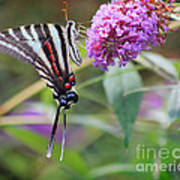 Zebra Swallowtail Butterfly On Butterfly Bush  Art Print