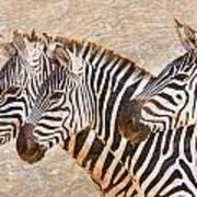 Zebras 5236b Art Print