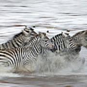 Zebras Crossing The Mara River Art Print