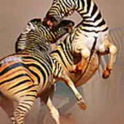 Zebras Fighting Art Print