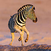 Zebras Jump From Waterhole Art Print