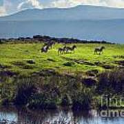 Zebras On Green Grassy Hill. Ngorongoro. Tanzania Art Print