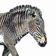 Zephyrus Zebra IIi Art Print