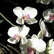 Zoo Orchid Art Print
