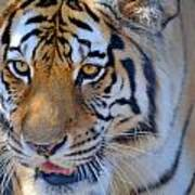 Zootography3 Tiger Prowl Close-up Art Print