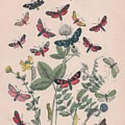 Zygaenidae - Syntomidae Art Print