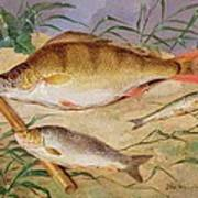 An Angler's Catch Of Coarse Fish Art Print