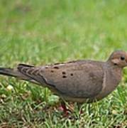 Backyard Mourning Dove  Art Print