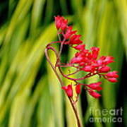 Coral Bells Blooming Art Print