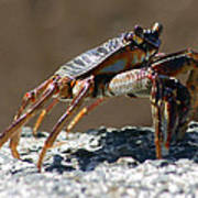 Crab On Rock Art Print