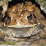 Grumpy Toad Art Print