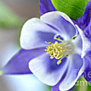 Purple Columbine Bloom Art Print