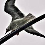 002 Gull To Out Do Wallenda Art Print