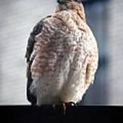 04 Falcon Art Print